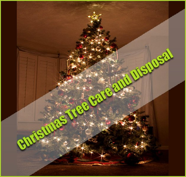 Disposing Of Christmas Trees: Christmas Tree Care And Disposal Of Christmas Trees